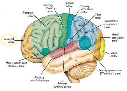 hersenen.jpg